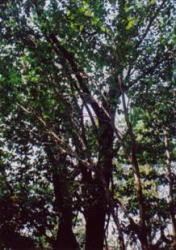 祝島のケグワ